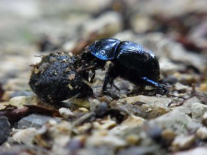 The Dung Beetle.