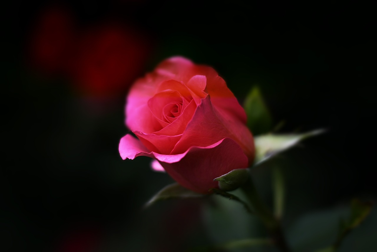Red Rose Is About Love
